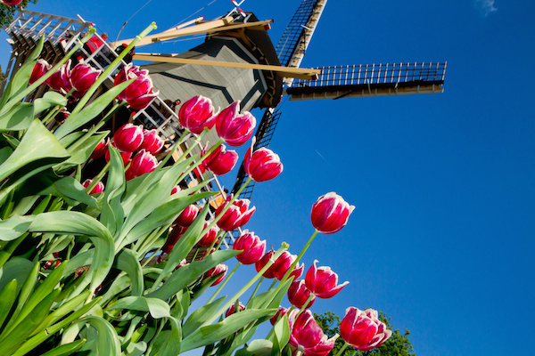 Tulips under a windmill on the Bollenstreek Route, Amsterdam