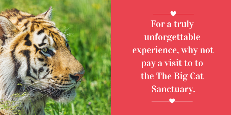 Why leave the country on Valentine's Day when you can visit the Big Cat Sanctuary in Ashford
