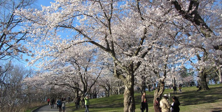 A firm favourite place to visit in Toronto is High Park for the cherry blossom
